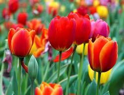 Можно ли посадить тюльпаны в октябре: когда, сроки осенью, где можно сажать в открытый грунт, правила посадки, особенности зимнего ухода, защита от вредителей