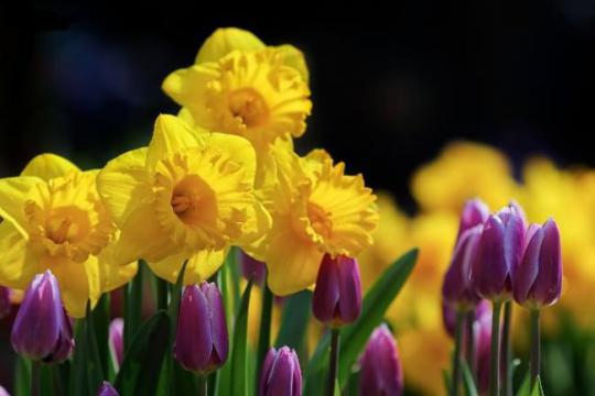 Можно ли сажать тюльпаны в октябре: особенности посадки осенью