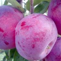 Сорт яблони Лобо описание