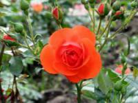 Выращивание садовых роз