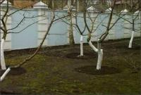 Побелка плодовых деревьев весной